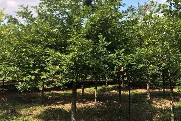 8公分娜塔栎