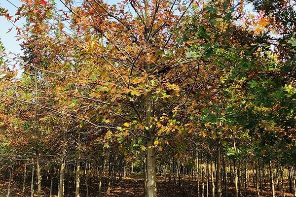 12公分娜塔栎