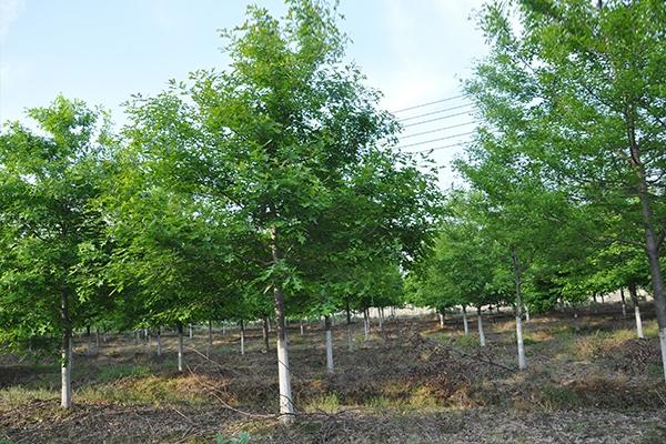 10~12公分娜塔栎